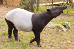 Malayan tapir. The malayan tapir (Tapirus indicus royalty free stock photo