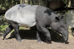 Malayan tapir. The malyan tapir going in the soil stock photography
