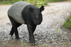 Malayan tapir Royalty Free Stock Photography