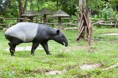 Malayan tapir Obraz Stock