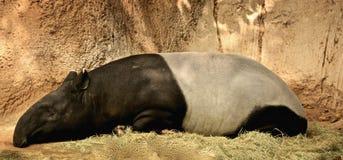 Malayan tapir Royaltyfri Bild