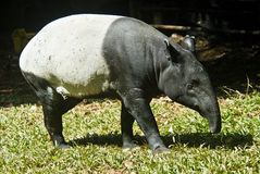 Malayan Tapir Stock Photos