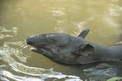 Malayan Tapir animal. Animal as natural background or wallpaper stock photography