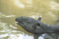 Malayan Tapir animal. Animal as natural background or wallpaper royalty free stock images