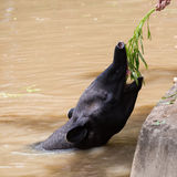 Malayan Tapir animal in water Stock Images