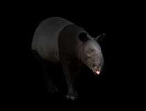 Malayan tapir or Asian tapir in the dark Royalty Free Stock Image
