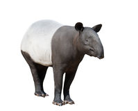 Malayan tapir or Asian tapir isolated Stock Photo