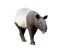 Malayan tapir or Asian tapir isolated. On white background royalty free stock image