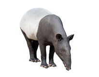 Malayan tapir or Asian tapir isolated. On white background stock images