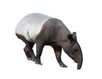 Malayan tapir or Asian tapir isolated. On white background royalty free stock photography