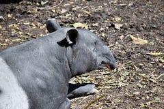 A malayan tapir. This is a close up of a malayan tapir stock photos