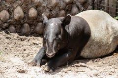Malayan tapir. Close up picture of an Malayan tapir royalty free stock photography