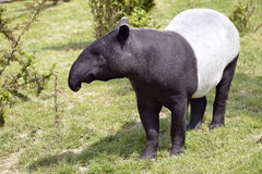 Malayan tapir on grass. Malayan tapir (Tapirus indicus) on grass royalty free stock images