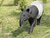 Malayan tapir on grass. Malayan tapir Tapirus indicus walking on grass and viewed of front stock images