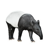 Malayan Tapir isolated on white background Royalty Free Stock Photo