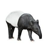 Malayan Tapir isolated on white background. One Malayan tapir isolated on white background royalty free stock photo