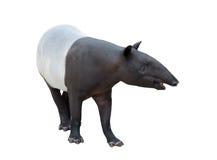 Malayan tapir lub azjata tapir odizolowywający Zdjęcia Royalty Free