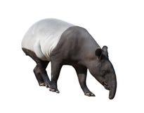 Malayan tapir lub azjata tapir odizolowywający Fotografia Royalty Free
