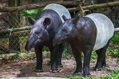 Malayan tapir. Malayan tapir tapirus indicus Thailand royalty free stock photography