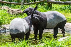 Malayan tapir. Tapirus indicus Thailand royalty free stock photography