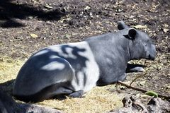 A malayan tapir. The malayan tapir is resting in the shade of a large tree royalty free stock image