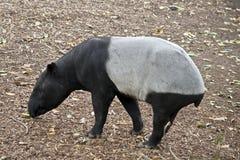 Malayan tapir. This is a side view of a Malayan tapir stock image