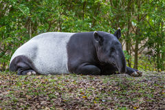 Malayan Tapir sleeping. Unusual, mulicolored Malayan Tapir sleeping in a quiet forest stock photo