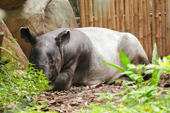 Malayan Tapir sleeps on the ground. As a large mammal Of a single hoof royalty free stock images