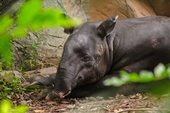 Malayan Tapir sleeps on the ground stock photo