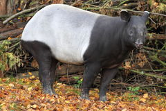 Malayan tapir. The malayan tapir standing in the fallen leaves royalty free stock photo