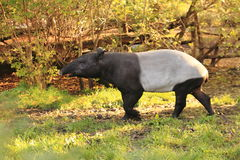 Malayan tapir. Strolling in the grass in autumn morning royalty free stock photo
