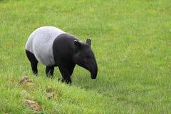 Malayan tapir. Strolling on the grass royalty free stock photos