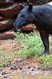 Malayan tapir (tapirus indicus). Malayan Tapir, also called Asian Tapir (Tapirus indicus stock image