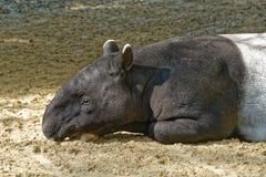 Malayan tapir royalty free stock photography