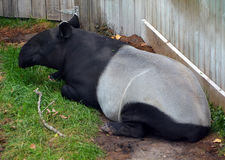 The Malayan tapir. Tapirus indicus, also called the Asian tapir, is the largest of the five species of tapir and the only one native to Asia stock image