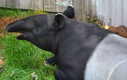 The Malayan tapir. Tapirus indicus, also called the Asian tapir, is the largest of the five species of tapir and the only one native to Asia royalty free stock photography