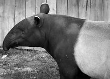 The Malayan tapir. Tapirus indicus, also called the Asian tapir, is the largest of the five species of tapir and the only one native to Asia royalty free stock photo