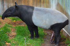 The Malayan tapir. Tapirus indicus, also called the Asian tapir, is the largest of the five species of tapir and the only one native to Asia royalty free stock images