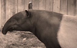 The Malayan tapir. Tapirus indicus, also called the Asian tapir, is the largest of the five species of tapir and the only one native to Asia royalty free stock image
