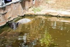 The Malayan tapir Tapirus indicus, also called the Asian tapir, is the largest of the five species of tapir and the only one royalty free stock image