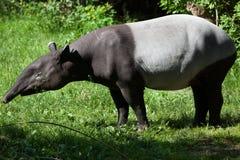 Malayan tapir (Tapirus indicus). Royalty Free Stock Image
