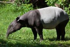 Malayan tapir (Tapirus indicus). Stock Images