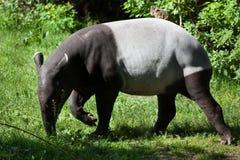 Malayan tapir (Tapirus indicus). Royalty Free Stock Photography