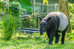 Malayan Tapir Tapirus Indicus. Also known as Asian Tapir stock photography