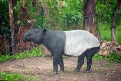 Malayan tapir Tapirus indicus, also known as the Asian tapir. Malayan tapir Tapirus indicus, also known as the Asian tapir in Thailand zoo royalty free stock image