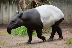 Malayan tapir (Tapirus indicus). Malayan tapir (Tapirus indicus), also known as the Asian tapir. Wildlife animal royalty free stock image
