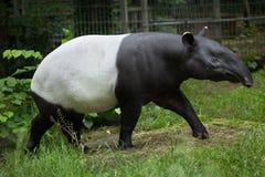 Malayan tapir. (Tapirus indicus), also known as the Asian tapir. Wildlife animal stock photos