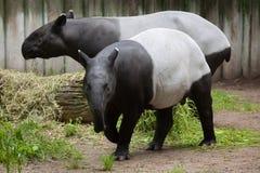 Malayan tapir (Tapirus indicus). Malayan tapir (Tapirus indicus), also known as the Asian tapir. Wildlife animal royalty free stock photo