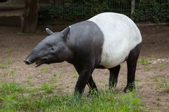 Malayan tapir Tapirus indicus. Malayan tapir Tapirus indicus, also known as the Asian tapir. Wildlife animal royalty free stock image