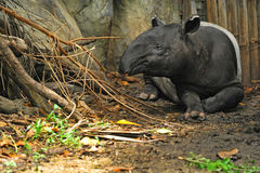 Malayan tapir (tapirus indicus) Royalty Free Stock Photography